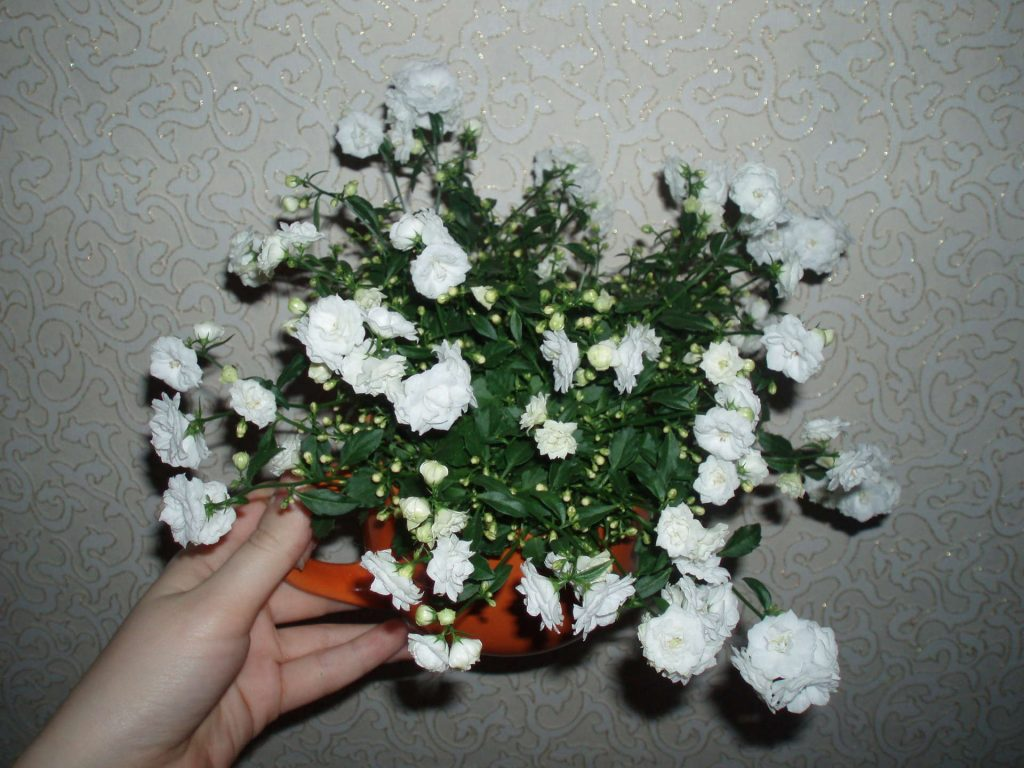 Цветок кампанула уход в домашних условиях 94