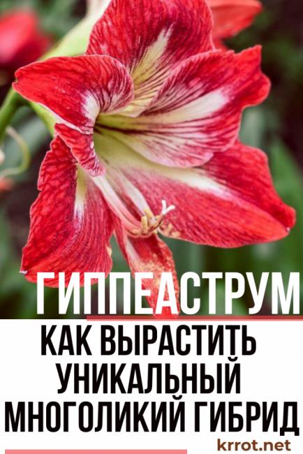 Цветок гиппеаструм домашний - многоликий гибрид: описание, виды, уход, выращивание, размножение и другая полезная информация (160 Фото) +Отзывы