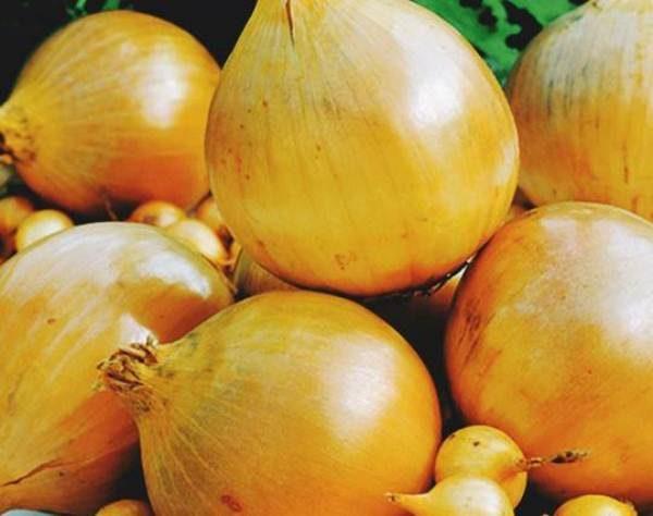 Луковицы сорта Кубанский желтый – как на подбор, все одномерные, гладкие, желтые с чешуйками желто-коричневого цвета