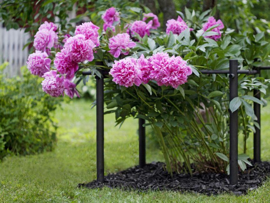 Наглядный пример мульчирования почвы вокруг цветка и использования опор