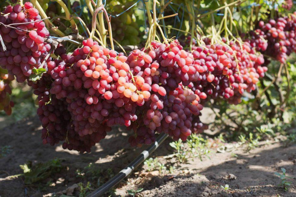 Велес сорт винограда