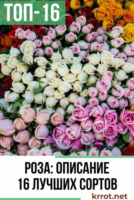 Роза: описание 16 сортов