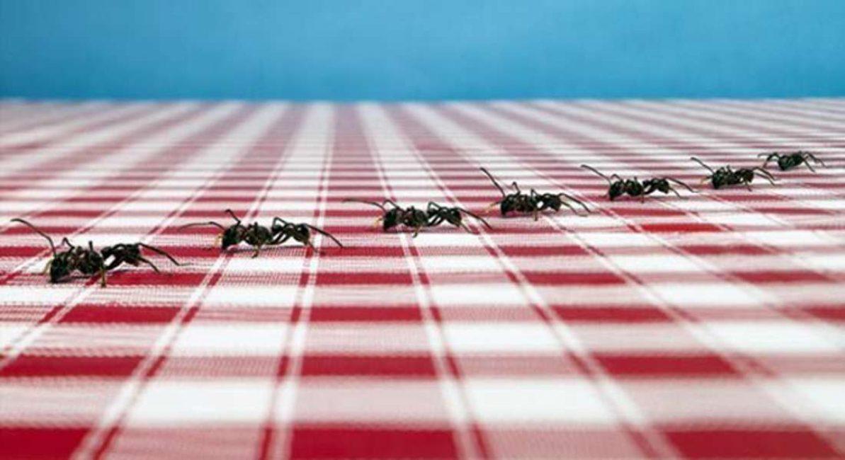Если муравьев в квартире стало много, следует понаблюдать, куда их стая направляется