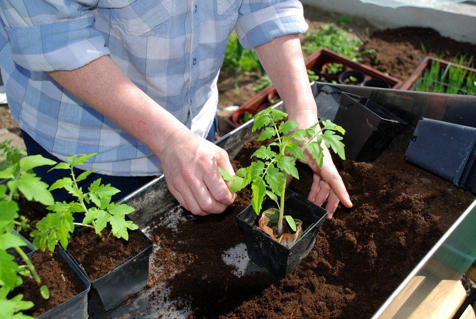 Первая подкормка помидорам требуется лишь через пару недель после появления ростков