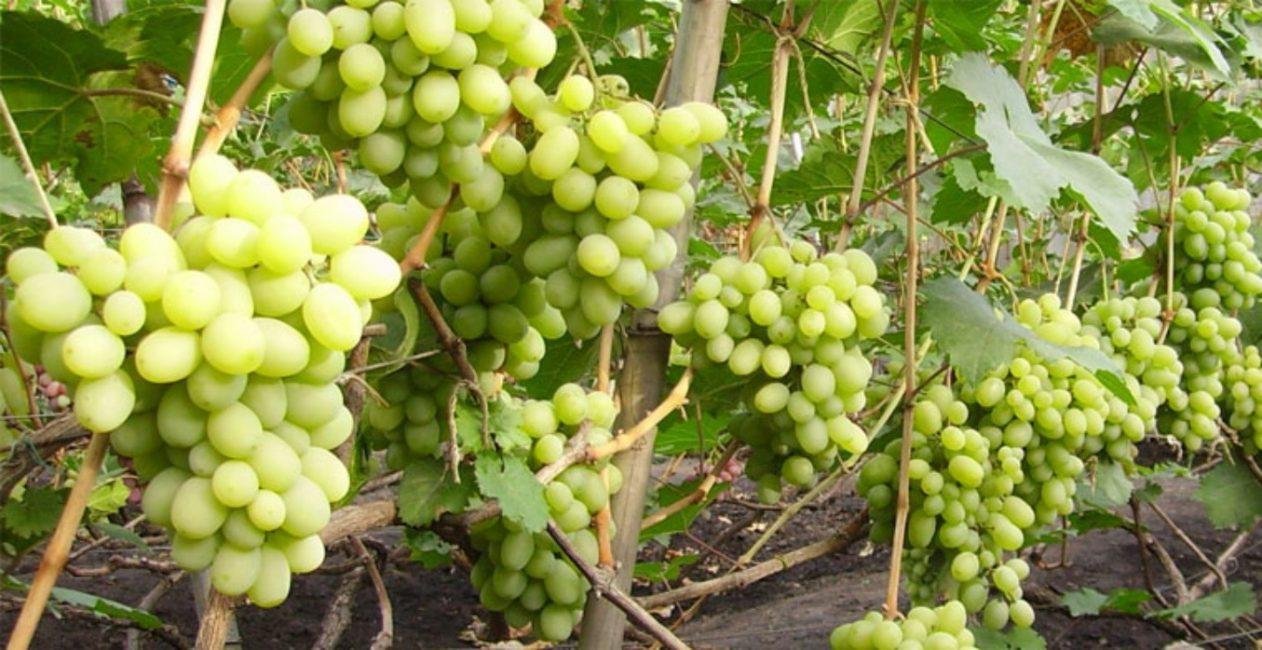 Подарок Запорожью сорт винограда