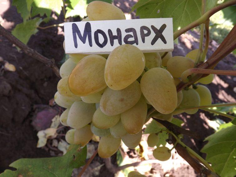 Монарх сорт винограда