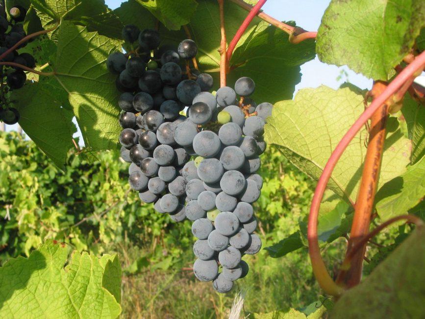 Амурский виноград сорт