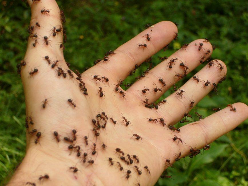 человеческая рука в муравьях