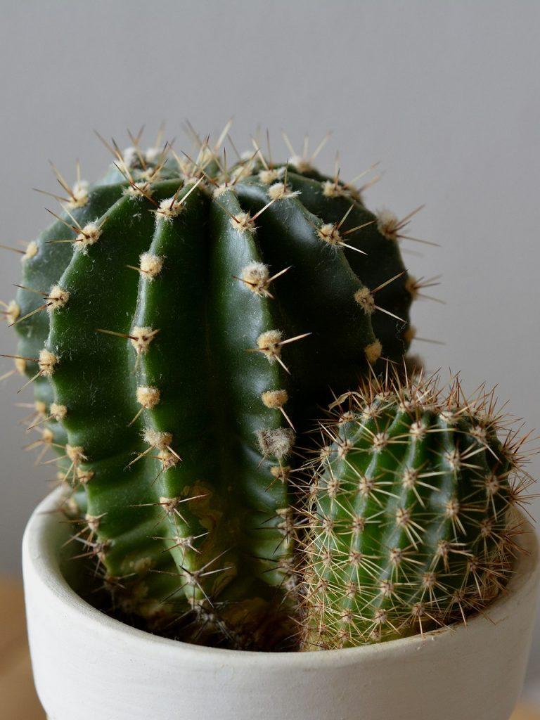свежести, фотогалерея домашних кактусов интересно смотрятся столешницы