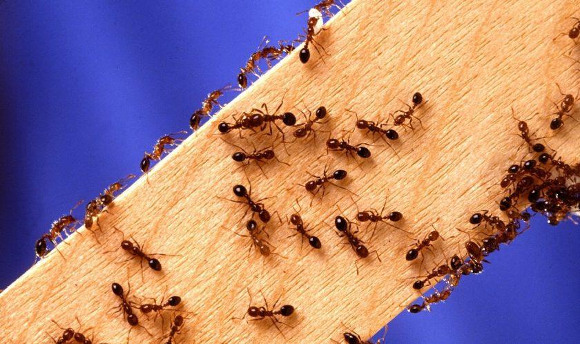 Как убрать муравьев в квартире