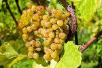 виноград описание сорта фото