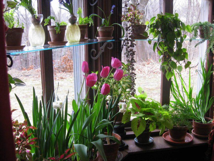 Тюльпаны на подоконнике