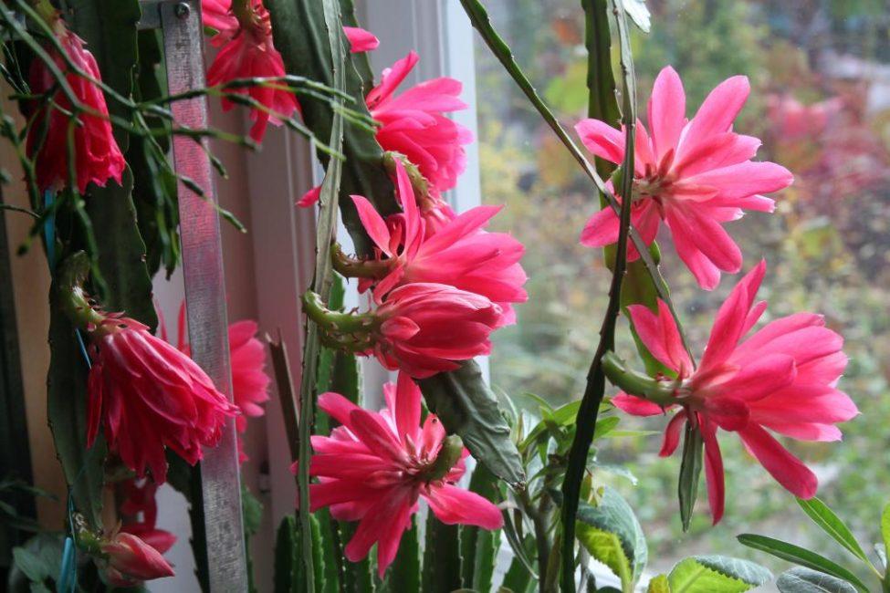 Лесной кактус эпифиллум с цветками.