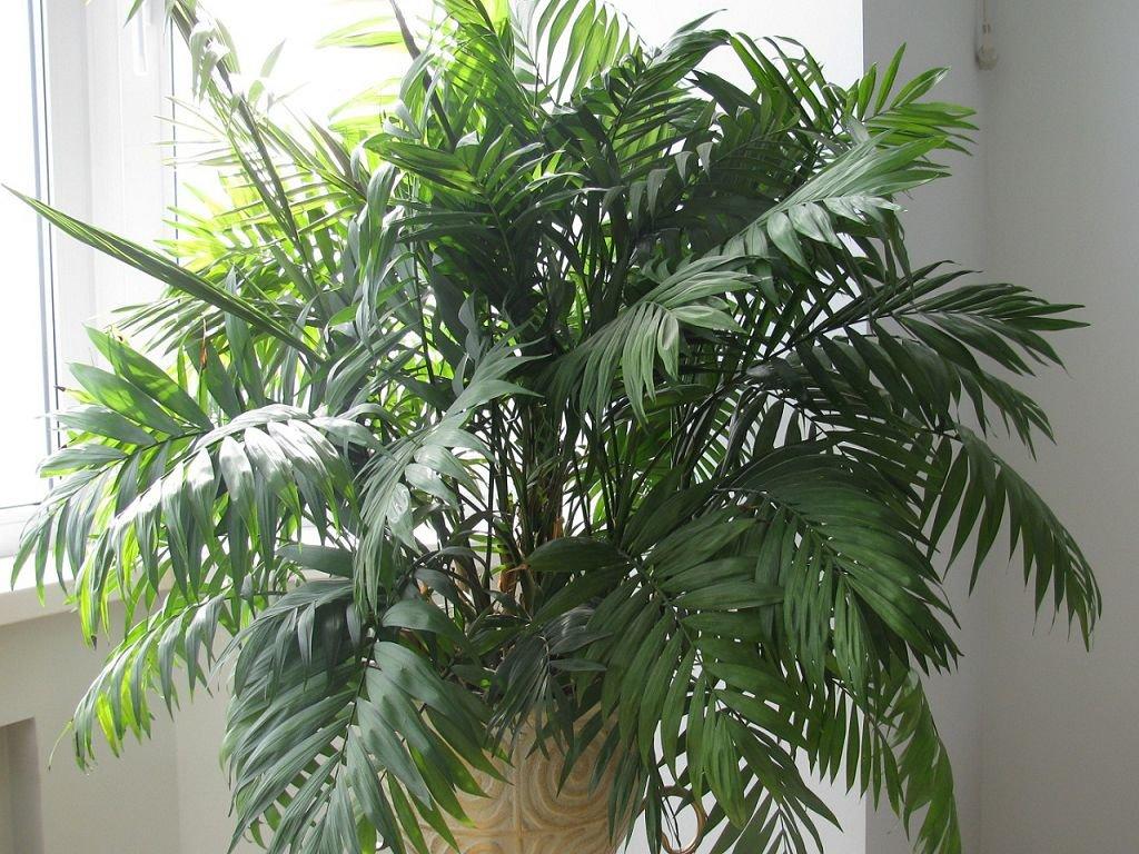 Бамбуковая пальма уход в домашних условиях фото 151