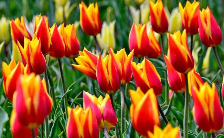 Сорт тюльпанов Парад