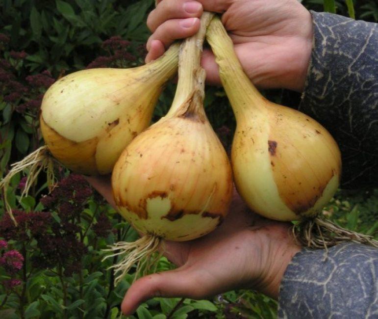 Идеальная форма луковиц сорта Богатырская сила: красивые, одномерные, округлые.