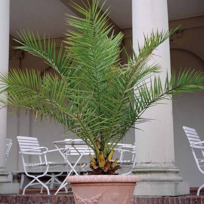 Взрослое финиковое дерево