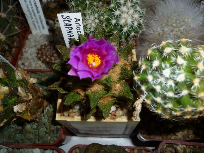 Виды и разновидности домашних кактусов с названиями и описанием, уход (100+ Фото): цветущие, с листьями и без шипов +Отзывы