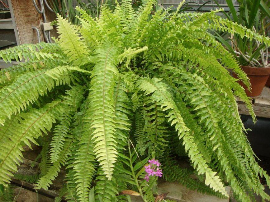 Папоротник «Бостон Ферн», типичный представитель комнатных растений