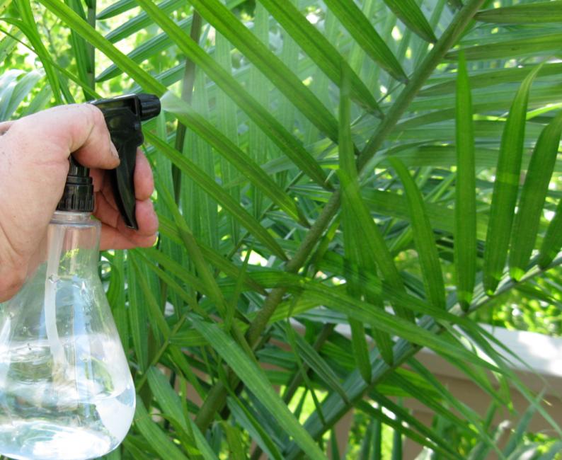 Опрыскивание листьев карликовой пальмы