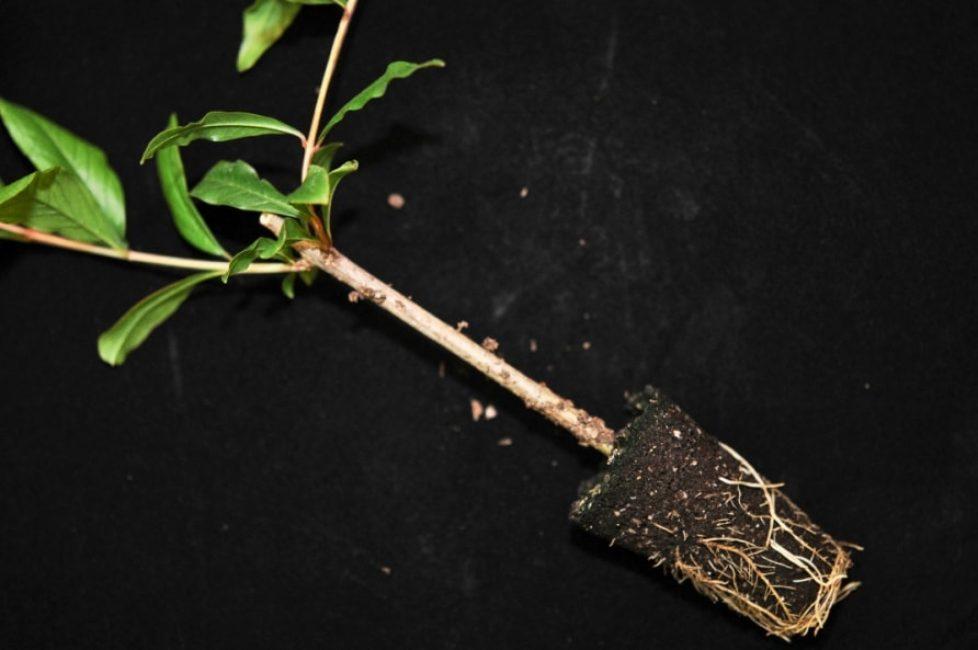 Здоровая корневая система граната