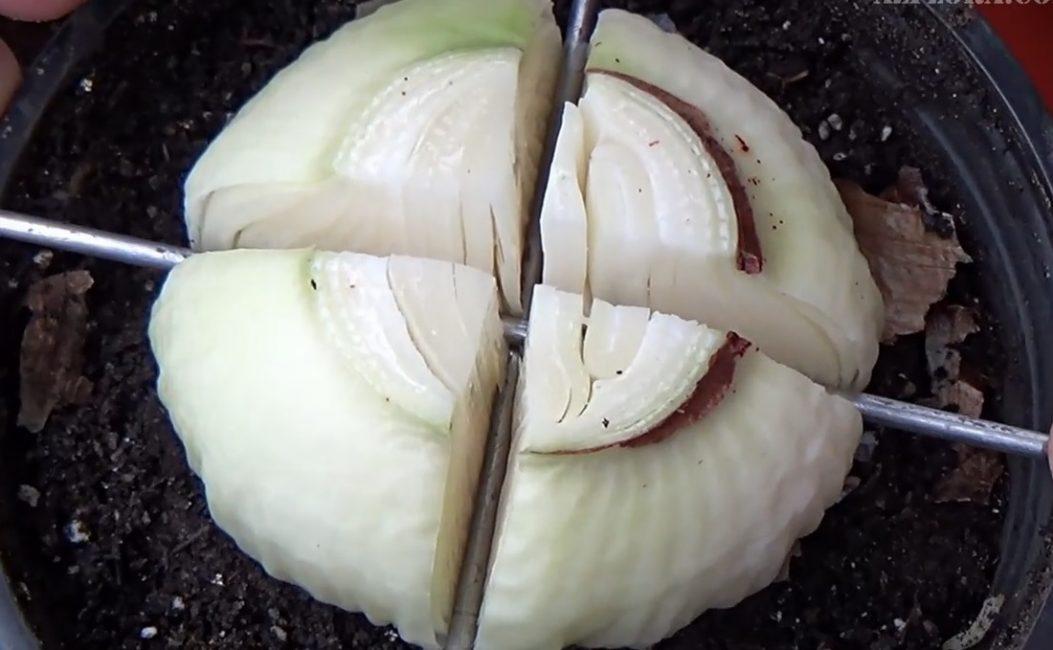 Разрезанная луковица гиппеаструма