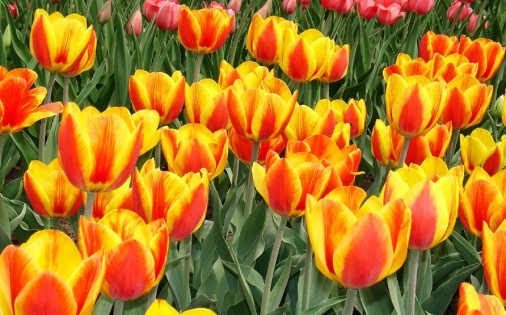 Тюльпан сорта Апельдорн элитный