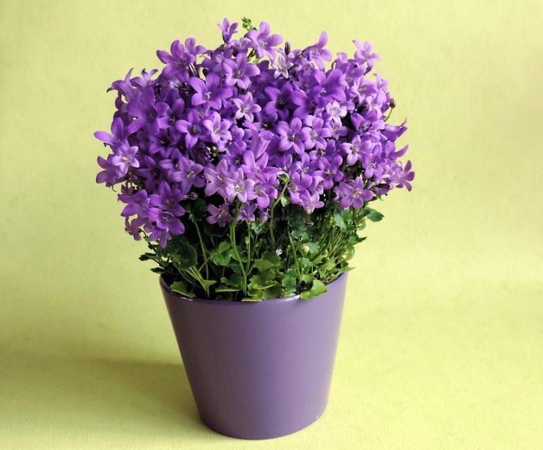 Гибрид с сиреневой окраской цветков