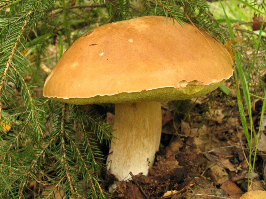 Еловый белый гриб