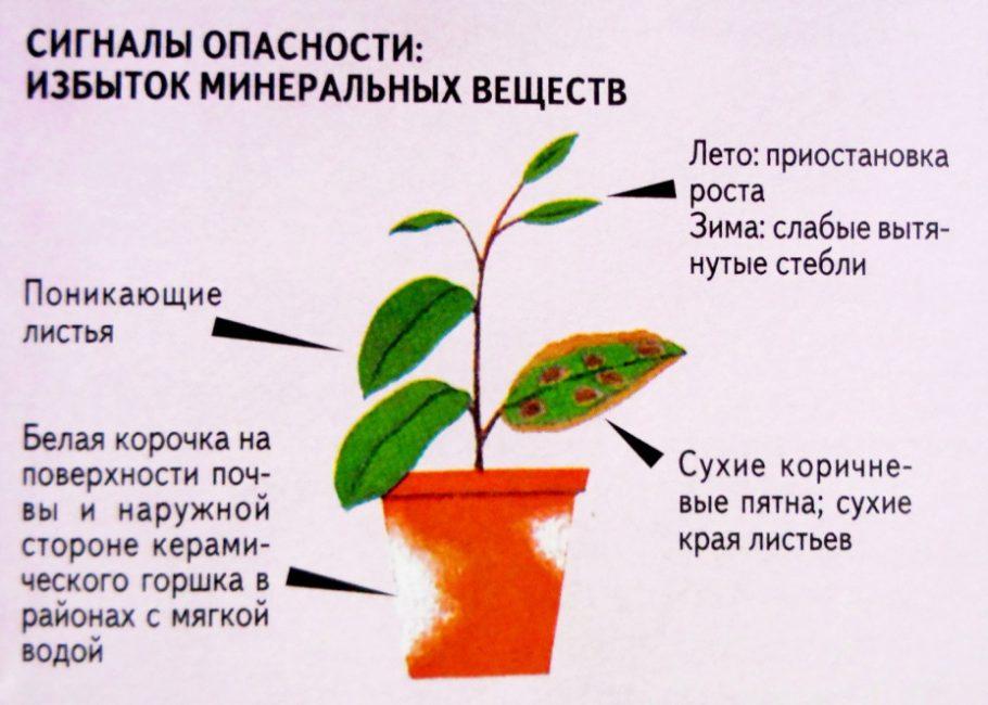 Избыток удобрений вреден для горшечных растений