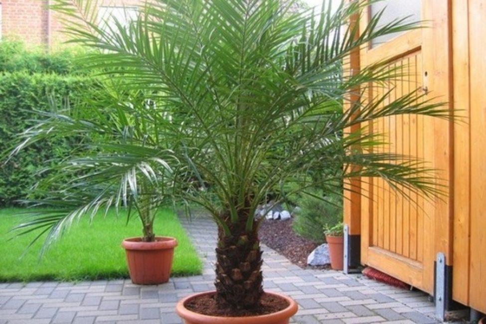 Финиковая пальма в горшке, вынесенная на лето в сад.