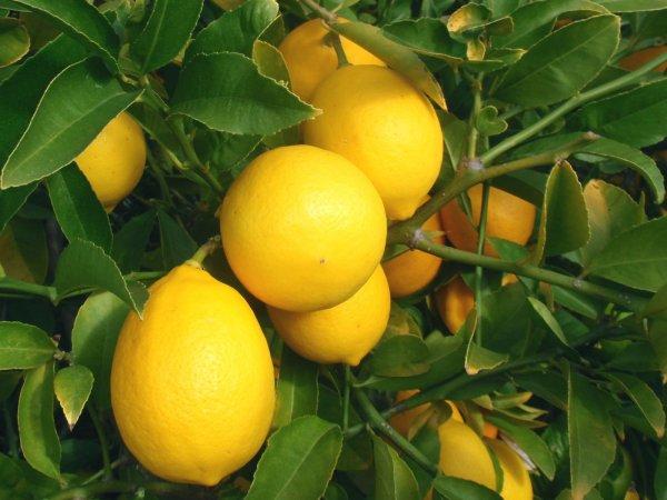 Мейера сорт лимона