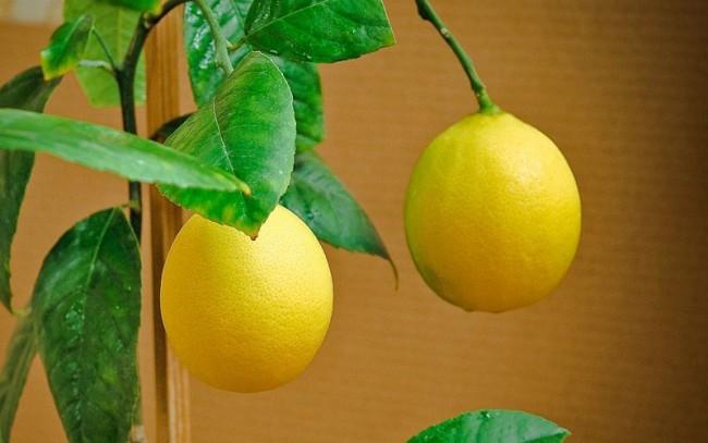 Лимон Новогодний – сюрприз к новогодним праздникам