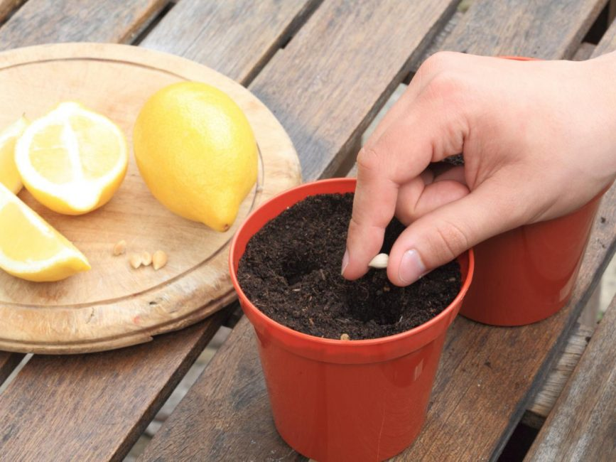закапываем косточку апельсина в горшок