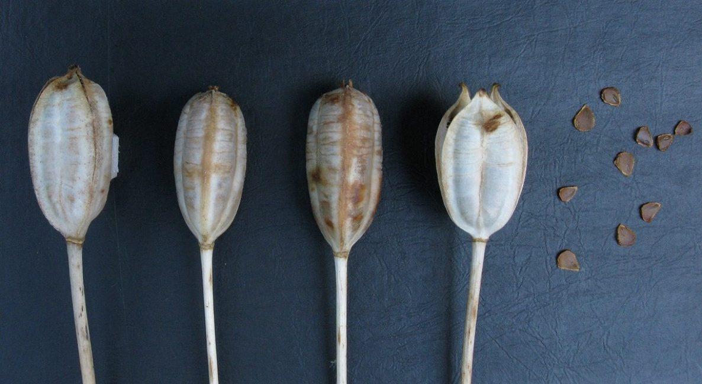 Коробочки с семенами тюльпана