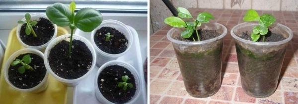 Успешное укоренение – маленькие растеньица тронулись в рост