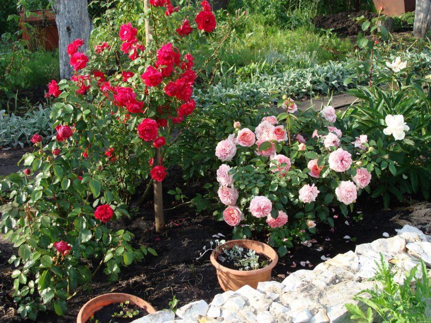 Сорта розы для Подмосковья
