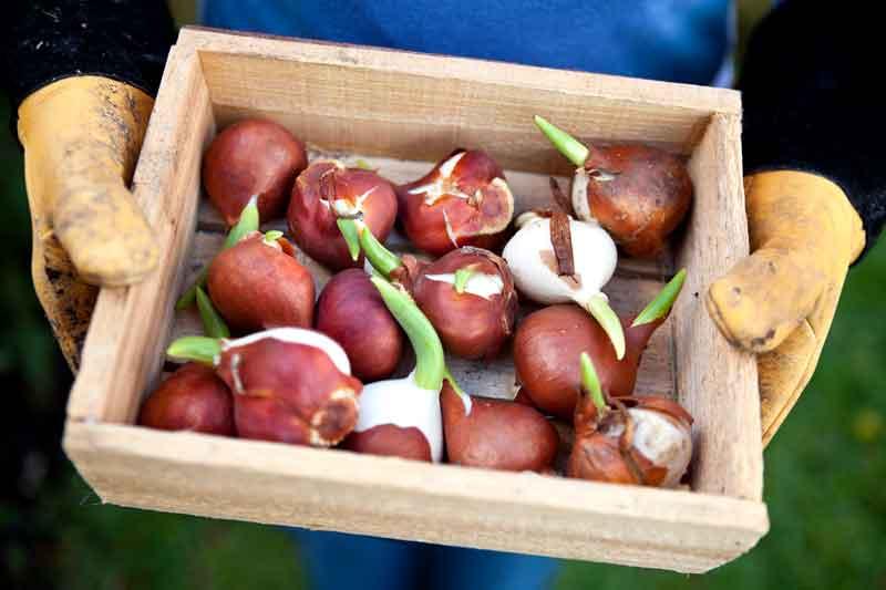 Ящик для хранения крупных луковиц тюльпанов