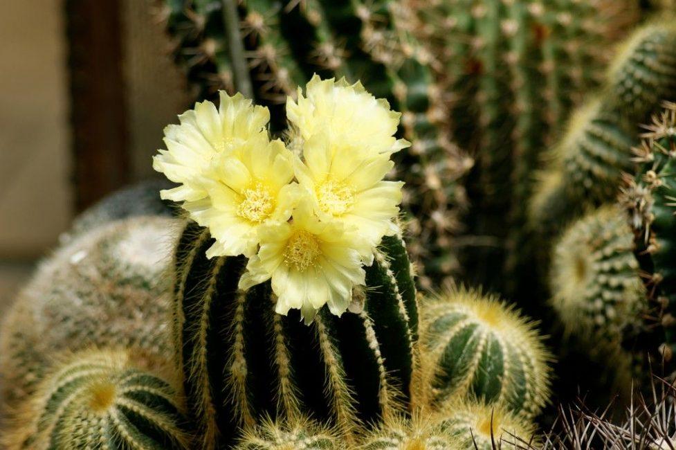 Нотокактус солнечный в период цветения