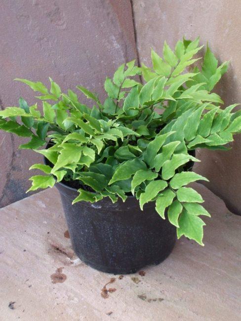 Циртомиум форчуна, испытывающий недостаток полива: отсутствует глянец на листьях