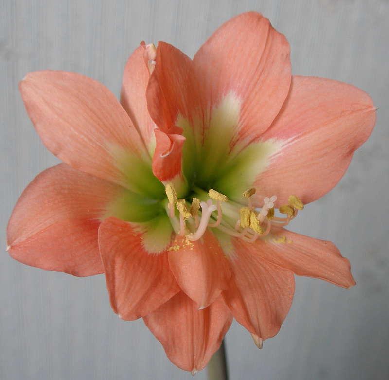 Сросшиеся цветки разновидности Мини Куин