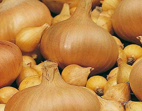Благодаря голландским селекционерам мир получил урожайный сорт лука Радар