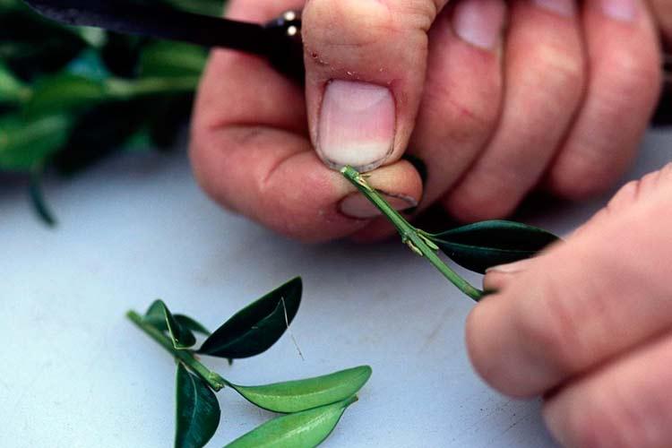 Правила нарезки зеленых черенков лимона для укоренения: нижний срез под косым углом под нижней почкой, верхний – прямо перпендикулярно, срез прямой