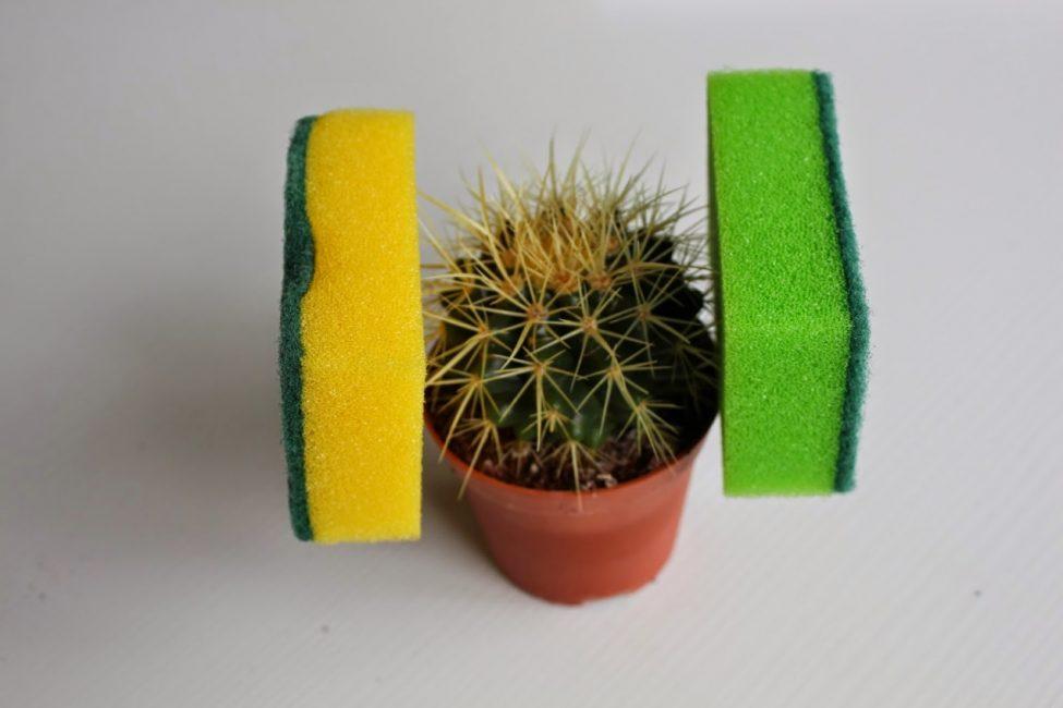 Удерживание кактуса при пересадке при помощи хозяйственных губок