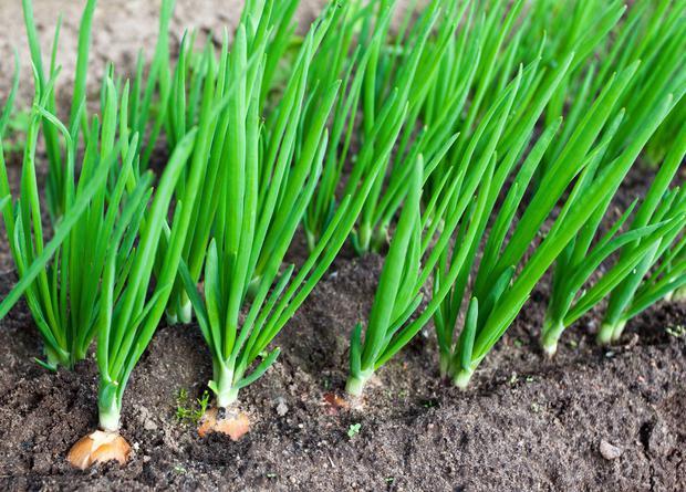 Получение семян из собственного посадочного материала