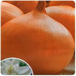 Округлые луковицы красавка Денсимора
