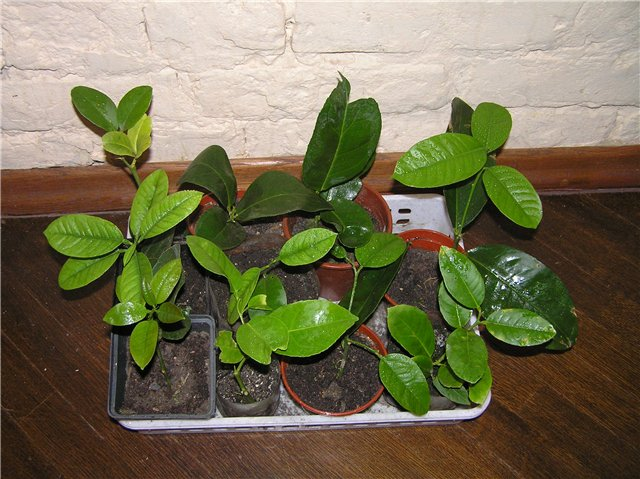 Черенки прижились и пустились в рост. На каждом растении уже появились новые листочки