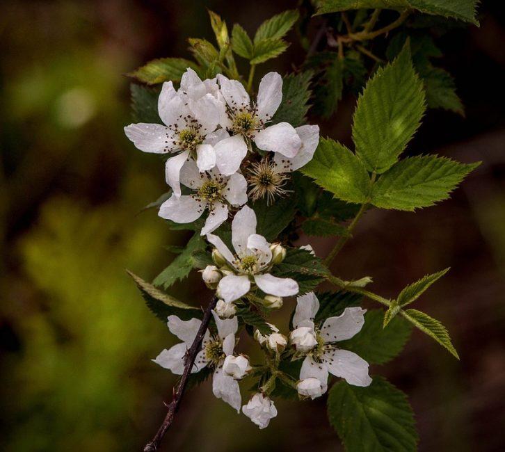 Цветет ежевика довольно поздно, не раньше июня. Следовательно, даже в самые поздние заморозки ее цветы не погубят