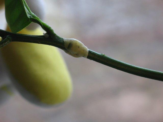 В качестве подвоя можно взять веточку с плодоносящего лимона