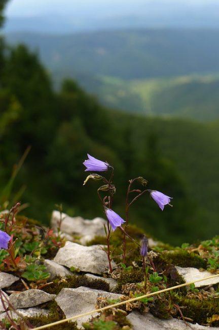 Кампанула карпатская в природных условиях